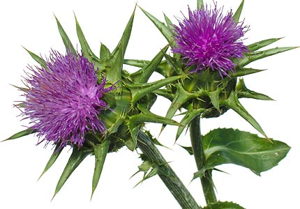 Improve Liver Function and Lose Weight with Milk Thistle