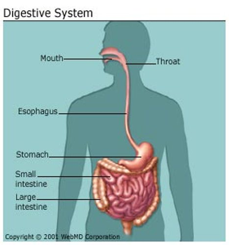 Things To Know About Your Body's Digestive System